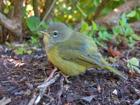 close-up view of a Nashville Warbler songbird perching at ground level