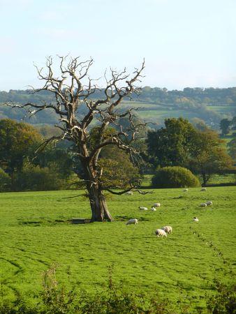 dead oak tree skeleton in sheep pasture, wales