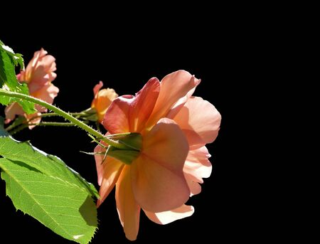 corner decoration of pastel peach rose & leaves isolated on black background