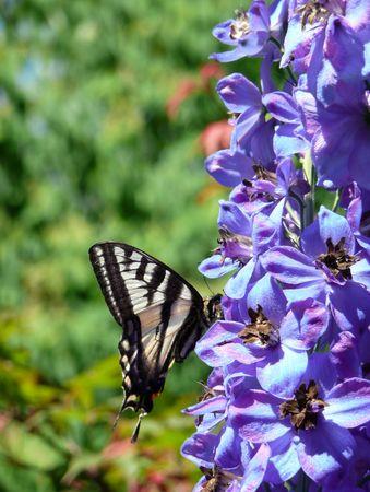 zebra swallowtail butterfly in profile on blue Delphinium flowers Stock Photo