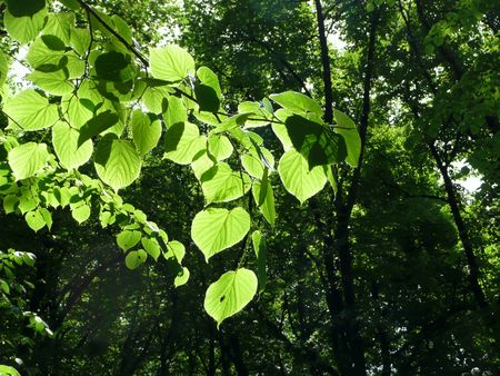 green leaves shining in sunlight with dark green forest beyond Stock Photo