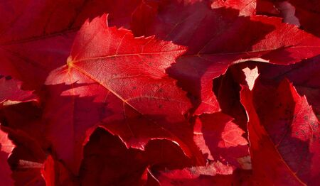 Detailed closeup of Red Maple Autumn leaves background texture.
