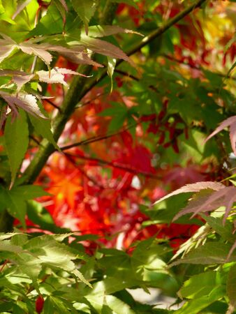 Autumn background of softened red and green Japanese Maple leaves