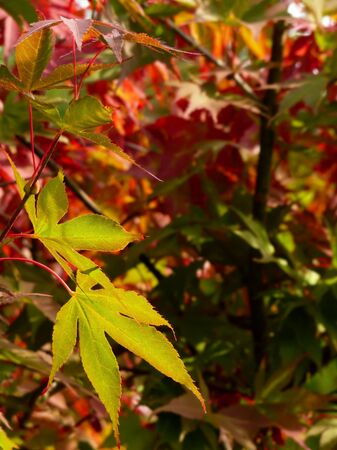 Autumn japanese maple leaves background Stock Photo - 3665232
