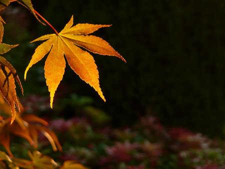 Single Japanese Maple leaf background in Autumn sunset Stock Photo