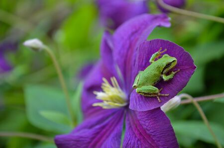 tree frog: Green Pacific Tree Frog on Purple Clematis Flower