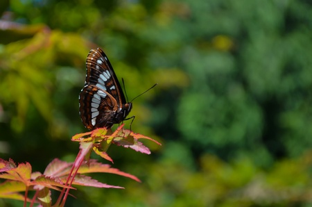 Lorquins Admiral butterfly on maple tree in side view selective focus