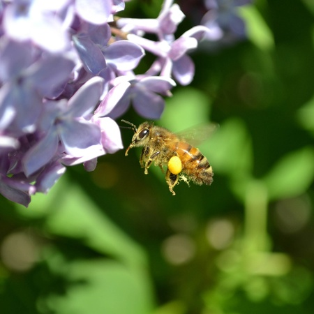 Flying bee harvesting nectar from flower photo