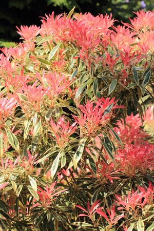 pieris: Beautiful Pieris Forest Flame in spring garden