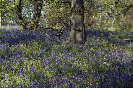 bluebells: Beautiful bluebells forest in the spring, Scotland Stock Photo