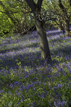 bluebell woods: Beautiful bluebells forest in the spring, Scotland Stock Photo