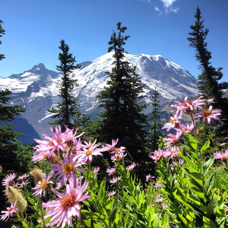 Mt. Rainier national park. Wildflowers at 7000 feet mt. Rainer Washington