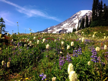 Paradise wildflowers at Mt. Rainier national park