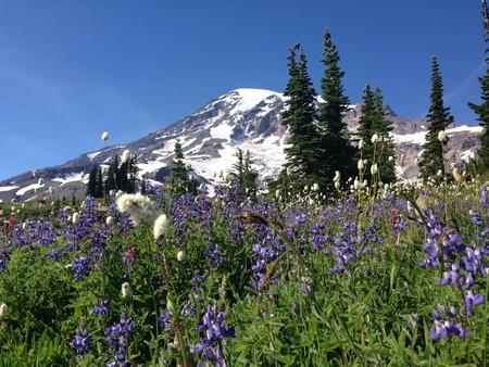 Mt. Rainier national park wildflowers