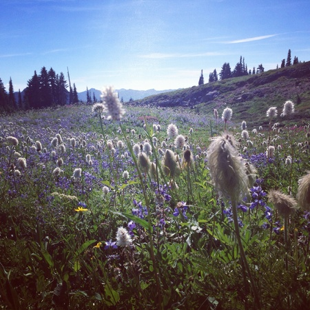 Wild flowers at Mt. Rainier national park Stock Photo