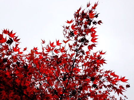Red leaves against a grey sky at yashiro Japanese garden in Olympia