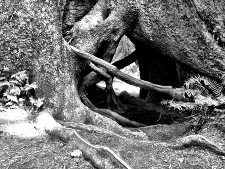 Large tree in Hog rainforest  Stock Photo
