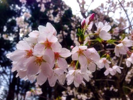 Cherry blossoms at Yashiro Garden Olympia WA