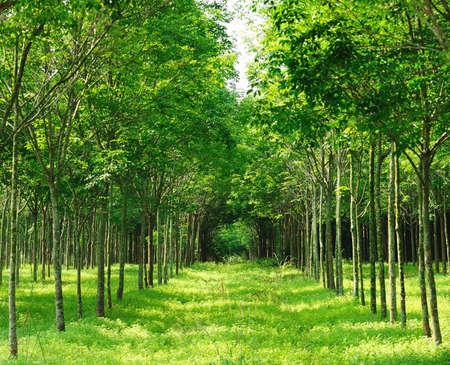 Para rubber tree garden in Thailand Stock Photo - 9195784