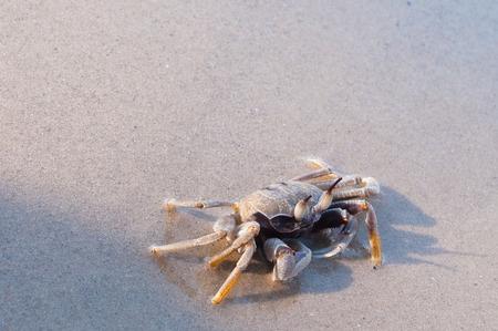 pinchers: Beach crab standing on wet sand