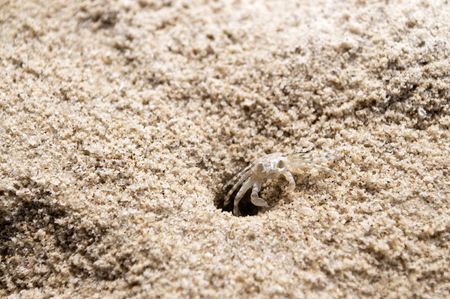 pinchers: Beach crab coming out of hole Stock Photo