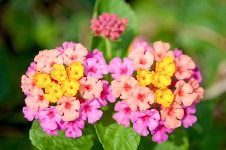 lantana camara: Close up of yellow and pink flower named Lantana Camara, also known as big-sage Malaysia Stock Photo