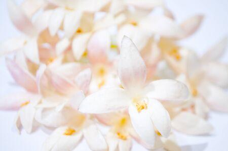 naranjo arbol: Flores del árbol de corcho indios blancos, también conocidos como jazmín árbol, (millingtonia hortensis) sobre fondo gris claro. El árbol es nativo del sur y sudeste de Asia. La flor tiene fragancia agradable.