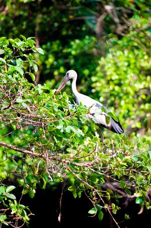 anastomus: Asian openbill (Anastomus oscitans), standing in a tree.