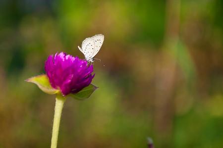 globosa: Hedge Blue butterfly (Genus Acytolepis) on purple Globe Amaranth (Gomphrena globosa) flower Stock Photo
