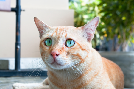 observant: Alerted street cat with wide opened blue-green eyes and pointing up ears.