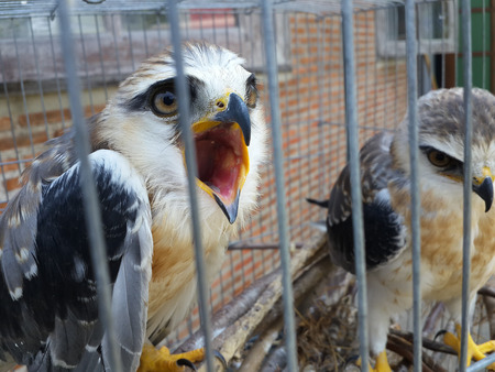 shouldered: Young black shouldered kite (Elanus axillaris) kept in cage. Stock Photo