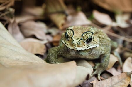javanese: Asian common toad (duttaphrynus melanostictus) on brown leaves. Also known as  Asian toad, black-spectacle toad, common Sunda toad and Javanese toad, widely distributed in south and southeast asia. Stock Photo