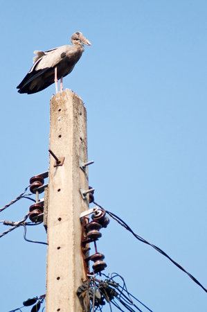 chilika: Asian openbill standing on top of electric pole. Human invades bird habitat. Anastomus oscitans is a large wading bird in the stork family. Found mainly in the Indian subcontinent and Southeast Asia. Stock Photo