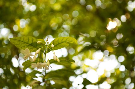 apocynaceae: Closeup Water Jasmine flowers, Wrightia religiosa (Apocynaceae), with bokeh background. Stock Photo