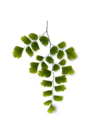 expectorant: Maidenhair fern (Adiantum sp.) leaves on white background with soft shadow. It is used in herbal medicine as tea or syrup, for its expectorant and cough suppressing properties Stock Photo