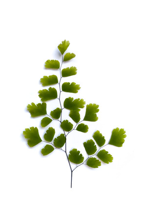 Maidenhair fern (Adiantum sp.) leaves on white background with soft shadow. It is used in herbal medicine as tea or syrup, for its expectorant and cough suppressing properties Stock Photo