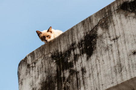 Abandoned crossbreed siamese cat peeking from top of ruin structure with clear blue sky as background.