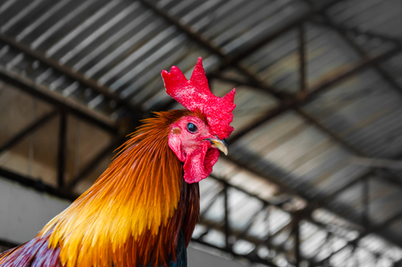 domestics: Close up on chicken head in farm in rural area of Thailand. Chicken (Gallus gallus domesticus) a type of domesticated fowl, a subspecies of red junglefowl. one of most common and widespread domestics. Stock Photo