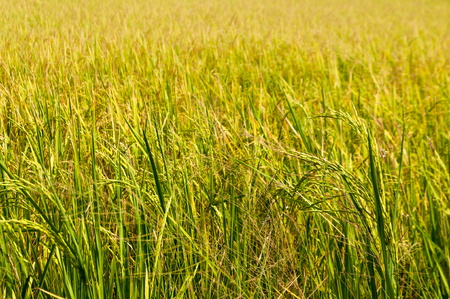 Close up on bright yellow ripe rice field under strong sunlight. Harvesting season in Thailand. Stock Photo