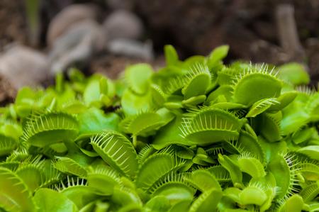 Closeup shot of tiny green Venus flytrap clump.The Venus flytrap (Dionaea muscipula) carnivorous plant native to subtropical wetlands on the East Coast of the USA in North and South Carolina.