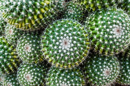 Selective focus closeup top-view shot on Golden barrel cactus (Echinocactus grusonii) cluster. a well known species of cactus, endemic to east-central Mexico widely cultivated as an ornamental plant. Stock Photo