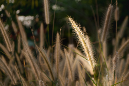 specific: selected focus close-up of a grass flower touched by sunlight stand out from other grass flowers Stock Photo