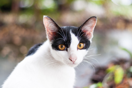 Cross breed domestic cat turn back and look right into camera with its brown eyes.