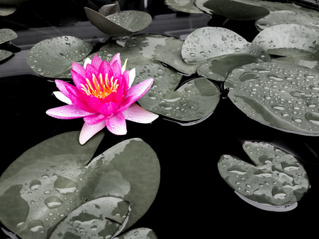Pink lotus on desaturated background. Selective coloring. Many deities of Asian religions are depicted as seated on a lotus. In Buddhist symbolism, it represents purity of body, speech, and mind.