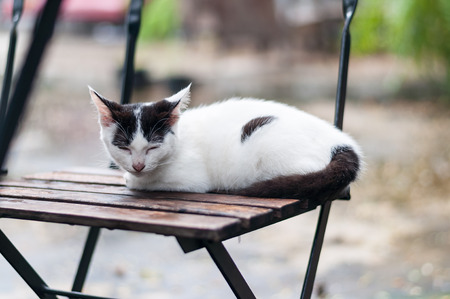 white cat with black spots crouch  and fall asleep on a wooden chair outdoor in a garden under tree shade. Stock Photo