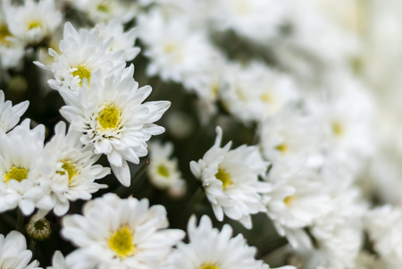 Selective focus close up white chrysanthemum flowers inn bouquet. Chrysanthemums were first cultivated in China as a flowering herb. Chrysanthemum Seal is official imperial seal of Japan. Stock Photo