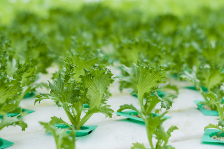 Young green lettuce growth in hydroponics system. It is in close greenhouse environment there for no insect and disease problem. Less chemical usage, more clean, safer and healthier.