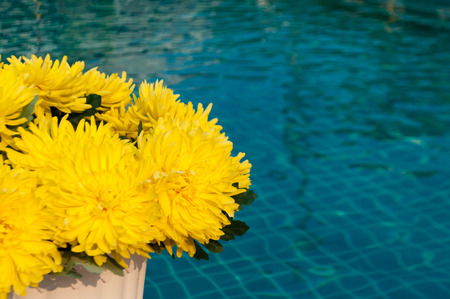 closeup shot of yellow artificial Chrysanthemum flowers under summer sunlight by a swimming pool Stock Photo