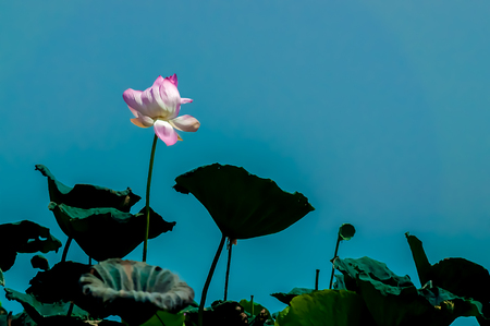 bright pink lotus on long stem with dark shadowed leaves silhouette against dimmed blue sky. worm view. high contrast.
