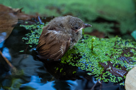 young small sparrow standing in shallow water. it fell down from nest in a tree into shallow water got wet and could not fly back.